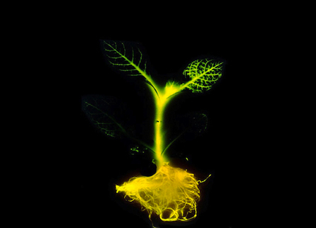 Replace Your Lights With These Genetically Engineered Glow-Plants | Radio Show Contents | Scoop.it