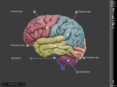 3D Brain - A Model of the Human Brain | Curate | Scoop.it