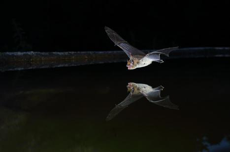 Climate Change Helps Bats to Spread Their Wings | Bat Biology and Ecology | Scoop.it