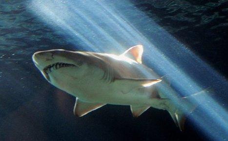 Australie: les populations de requins de la Grande barrière de corail sur le déclin | La préservation de l'environnement marin | Scoop.it