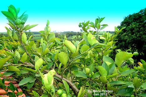 Meu cantinho verde: LIMÃO-GALEGO - ( Citrus aurantifolia ) | paisajismo | Scoop.it