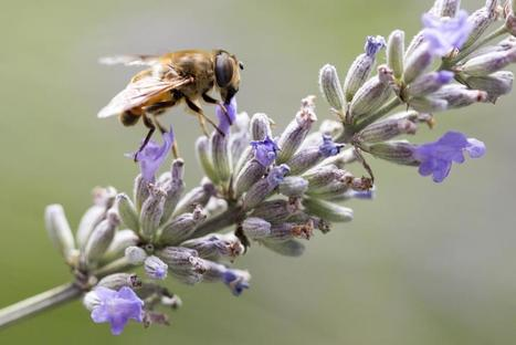 Pest Control Company to Phase Out Chemical That Harms Bees | Pest Inspection and Treatment in NC | Scoop.it