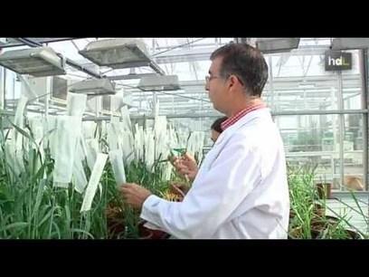 Científicos andaluces desarrollan un trigo sin gluten para su comercialización a escala mundial - Historias de Luz | Gluten free! | Scoop.it