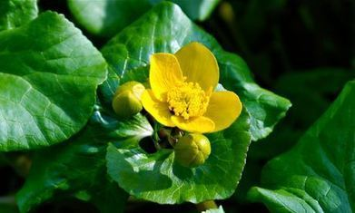 Marsh marigolds jump into life like a bawdy old song | Nature Flash | Scoop.it