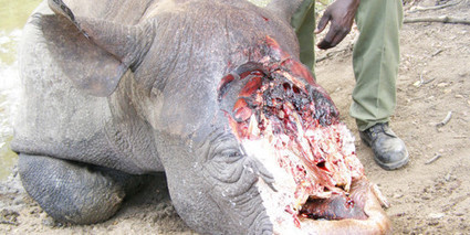 Namibia: Rhino poaching continues unabated | What's Happening to Africa's Rhino? | Scoop.it