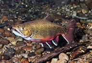 Restored Red Brook Brought Back the Fish - ecoRI news | Fish Habitat | Scoop.it