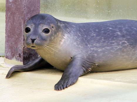 'Half asleep' seals may solve the mystery of how and why humans snooze, claim biologists | BIOSCIENCE NEWS | Scoop.it