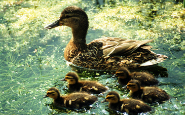 New York Rescue Crews Save Ducklings in Storm Drain | This Gives Me Hope | Scoop.it