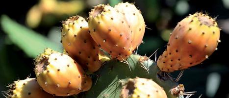 Cochenille du cactus : Le Maroc rassure et lance un programme d'urgence | EntomoNews | Scoop.it