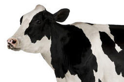 Cash cow earns $3.8b | Waibury Agricultural Farm Investments | Scoop.it