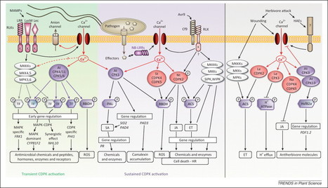 Trends Plant Sci.: CDPKs in immune and stress signaling (2013) | Effectors and Plant Immunity | Scoop.it