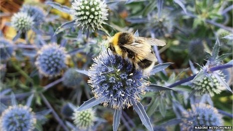 Urban areas 'provide haven' for bees | Suburban Land Trusts | Scoop.it
