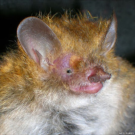 Murina eleryi - Species New to Science - Blogger | Bat Biology and Ecology | Scoop.it