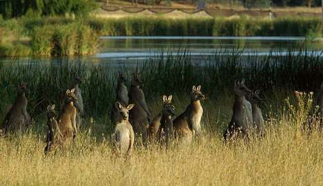 Kangaroo cull Canberra Australia May 2008 | Nature Animals humankind | Scoop.it