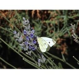 Lavanda | Lavanda ( Lavandula officinalis). | Scoop.it