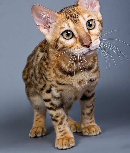 Company's Hypoallergenic Cat Claims May Be a Scam - Paw Nation   Animal & Insect Allergy   Scoop.it