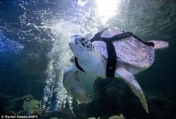 Green Sea Turtle Swims Underwater Thanks to World's First Dive Belt Built for Endangered Sea Creatures - Divers Institute of Technology | Underwater | Scoop.it