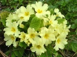 Health Benefits of Primrose (Primula officinalis) | ForHealthBenefits | Scoop.it
