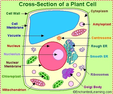 Plant Cell Anatomy - EnchantedLearning.com | Biological Systems | Scoop.it