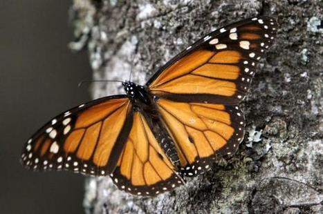 Study ties GMO corn, soybeans to butterfly losses   Food issues   Scoop.it