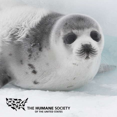 End the Canadian Seal Slaughter With A Federal Buyout - The Humane Society of the United States | All about water, the oceans, environmental issues | Scoop.it