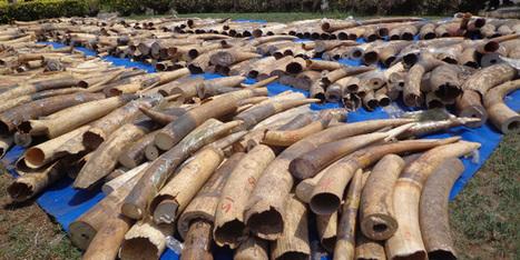 Trafic d'ivoire: les éléphants du Mozambique massacrés par centaines | A decouvrir | Scoop.it