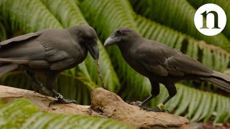Rare crow shows a talent for tool use : Nature | Gaia Diary | Scoop.it