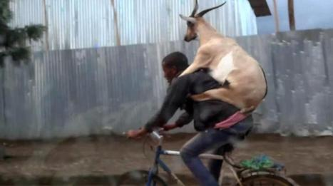 Man rides bike with goat on back in Ethiopia | Travel Bites &... News | Scoop.it
