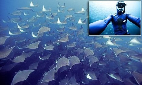 Un impressionnant ballet de raies Mobula dans la mer de Cortez, Baja California | Rays' world - Le monde des raies | Scoop.it