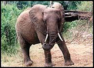NATURE: The Elephants of Africa - The Poaching Problem | practice | Scoop.it