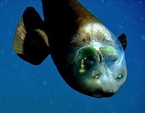 Pacific barreleye: Weird Fish with Transparent Head | Strange Animals | Strange animals | Scoop.it