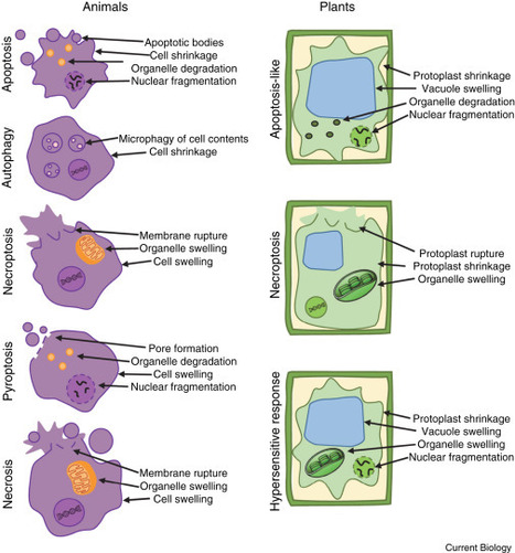 Current Biology: Pathogen Tactics to Manipulate Plant Cell Death (2016) | Emerging Research in Plant Cell Biology | Scoop.it