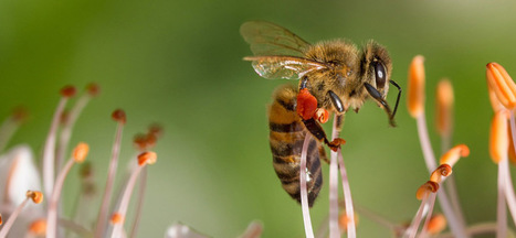 La vie fascinante des abeilles | EntomoScience | Scoop.it