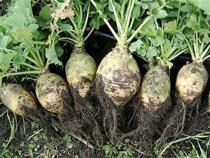 Rutabaga, Chou-navet, Brassica napus var Napobrassica | dietconseil actualite dietetique nutrition évolution | Scoop.it