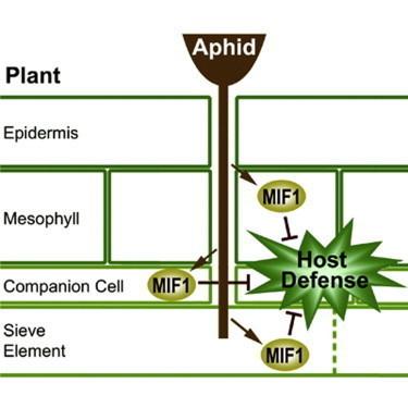 Comment le puceron manipule les défenses de la plante pour mieux la parasiter | EntomoNews | Scoop.it