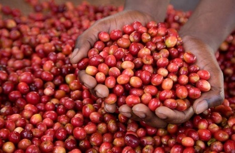 Rwanda hopes to get $157m from coffee   Rwanda Economy   Scoop.it