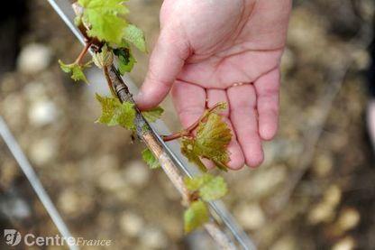 Printemps noir pour la viticulture : les vignerons de l'Yonne ne se laissent pas abattre | Le vin quotidien | Scoop.it