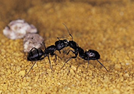 Shhh, the Ants Are Talking | All About Ants | Scoop.it