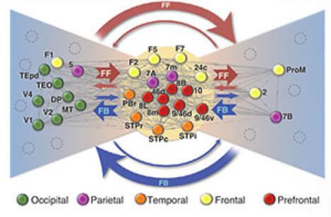 New Study: Brain Neuronal Networks | Social Neuroscience Advances | Scoop.it