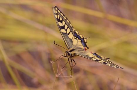Sur la piste des machaons du désert - Les Lépidoptéristes de France | Variétés entomologiques | Scoop.it