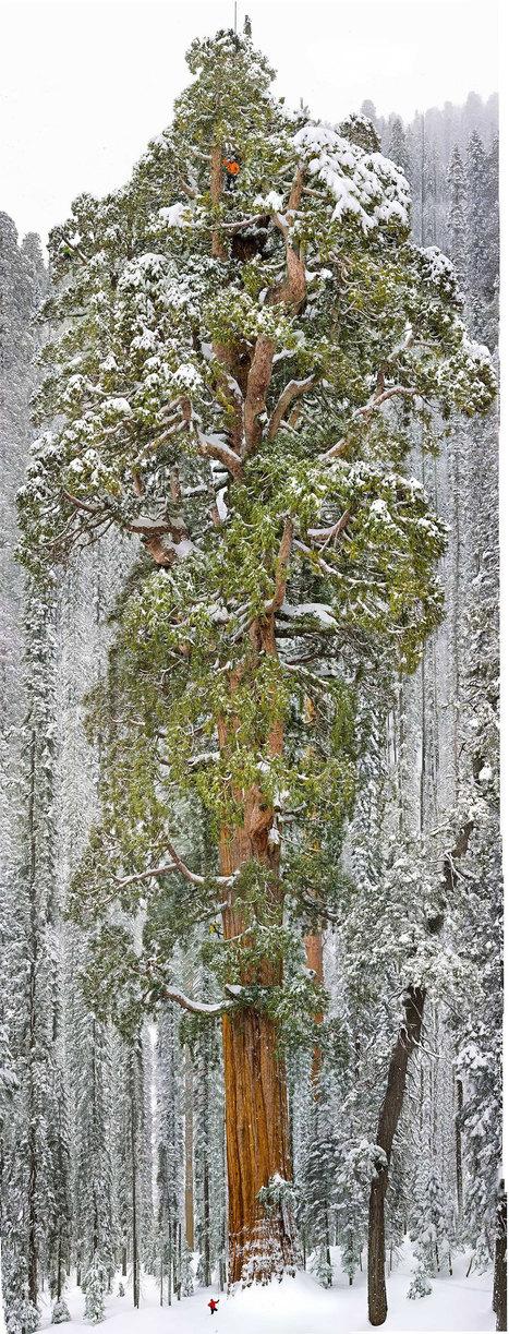 Agé de 3200 ans, le plus vieux sequoia du monde encore vivant a enfin été photographié dans son intégralité   Photoinfos   Scoop.it