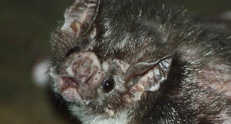Vampire bats share blood to make friends   Biologie in de klas   Scoop.it