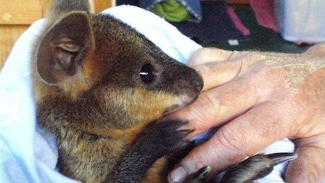 This guy gave a wallaby CPR and saved its life | American heart association | Scoop.it