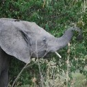Kenya President ousted: Elephant poaching thrives | Wildlife Trafficking: Who Does it? Allows it? | Scoop.it