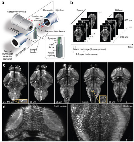 Whole-brain functional imaging at cellular resolution using light-sheet microscopy | Neuroscience Research | Scoop.it