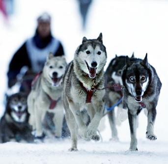Les Alpes, terrain de course pour les meilleurs mushers du monde - Le Progrès   Adventure Tourism   Scoop.it