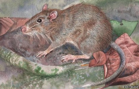 Spiny rat discovered in Indonesia | Social studies | Scoop.it