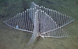 Creatures of the Deep: Carnivorous Harp Sponge | Indigo Scuba | Scoop.it