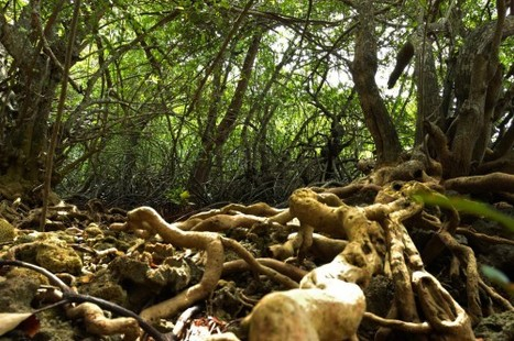 Private sector to manage mangrove forest   The Jakarta Post   Earth Citizens Perspective   Scoop.it