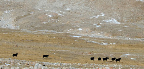 Yaks Are Returning to Tibet, but Does Climate Change Pose Further Risks? | Climate change challenges | Scoop.it
